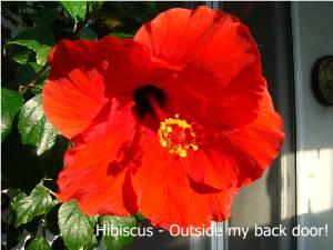 Hibiscus spring 2009