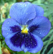 147660_blue_pansy_with_water_droplets