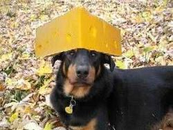 Cheese-head-dog