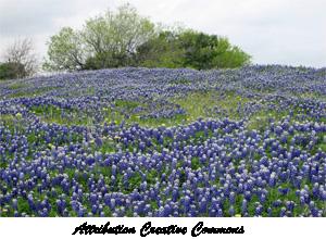 Texas-bluebonnets
