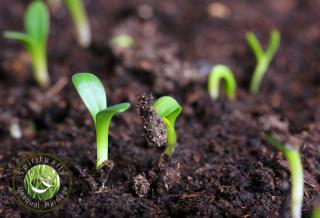 Soil  SUM